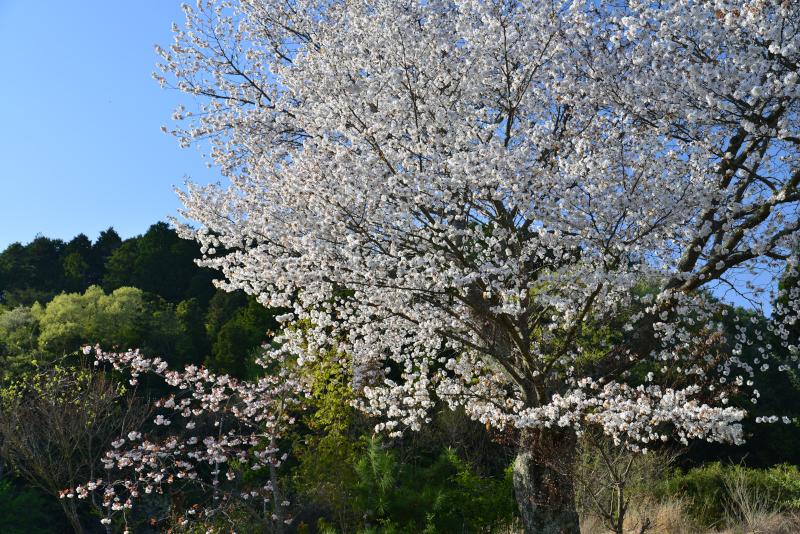 最期の桜4