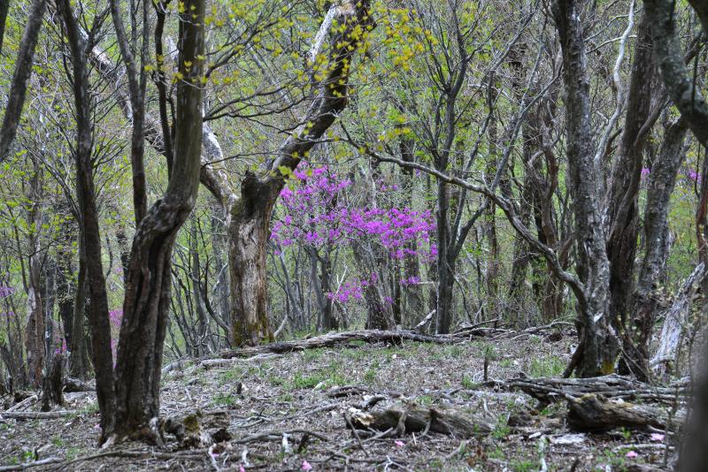 ミツバツツジ咲く森