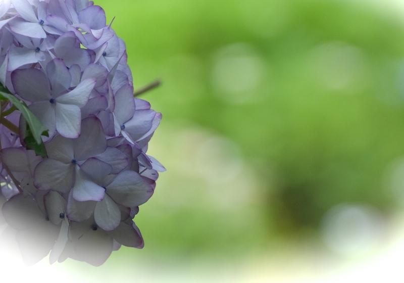 山に咲く花菖蒲
