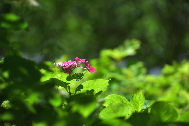 晴れの日の紫陽花