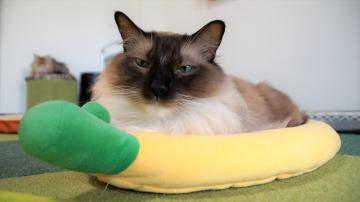 バナナクッションに入ってドヤ顔のシャム!3