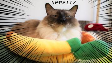 バナナクッションに入ってドヤ顔のシャム!11