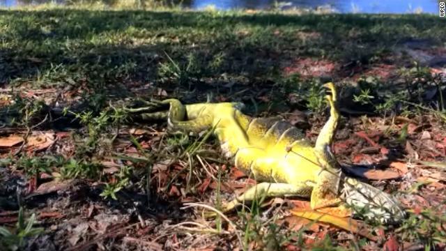 frozen-iguanas-story-top.jpg