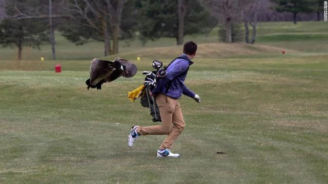 goose-attacks-golfer-chase.jpg