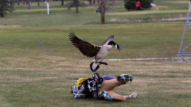 goose-attacks-golfer-exlarge-169.jpg