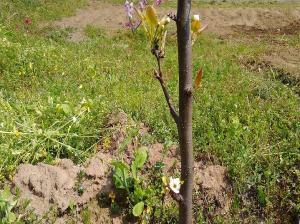 4月2週 <梨の花と桃の花>