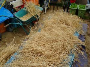 5月2週 <小松菜の採種>