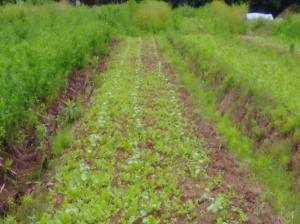 6月3週 雑草化する小松菜