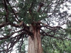 樹齢800年の杉
