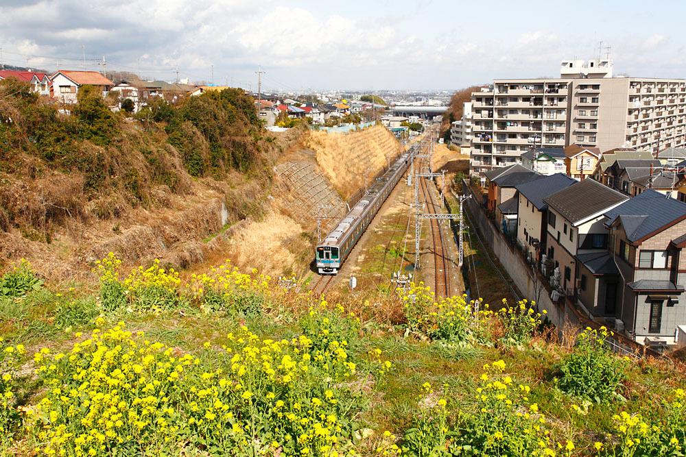 180311_小田急菜の花1