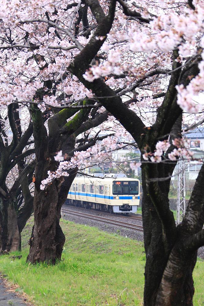 170408_8000_座間_桜