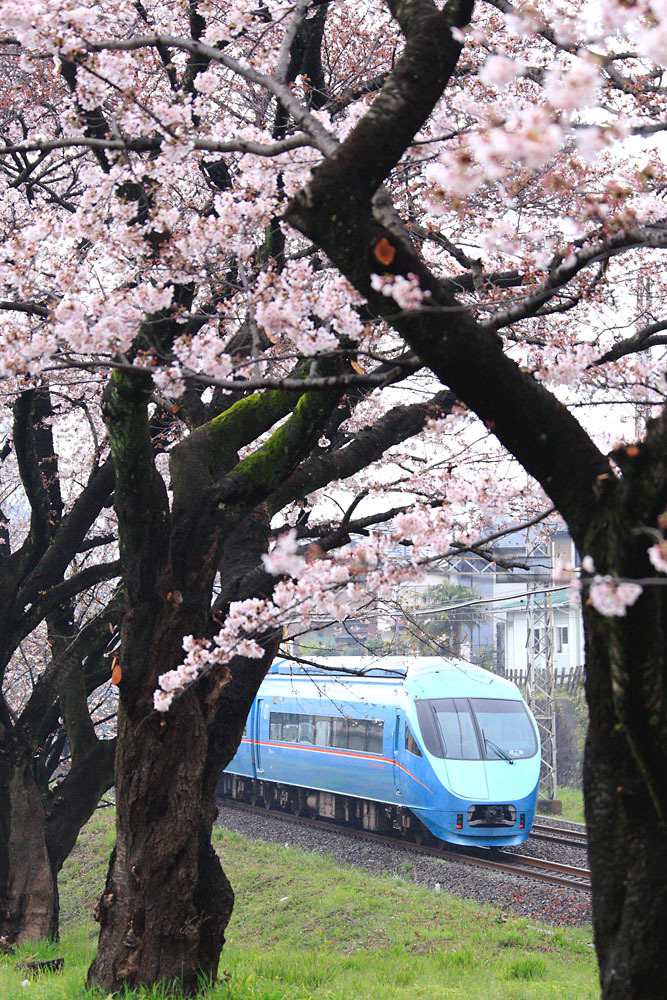 170408_MSE_座間_桜