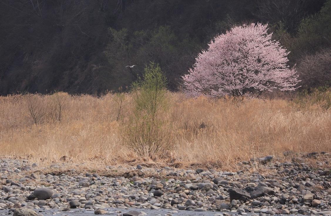 ブログ 20184 03 桜とアオサギ.jpg