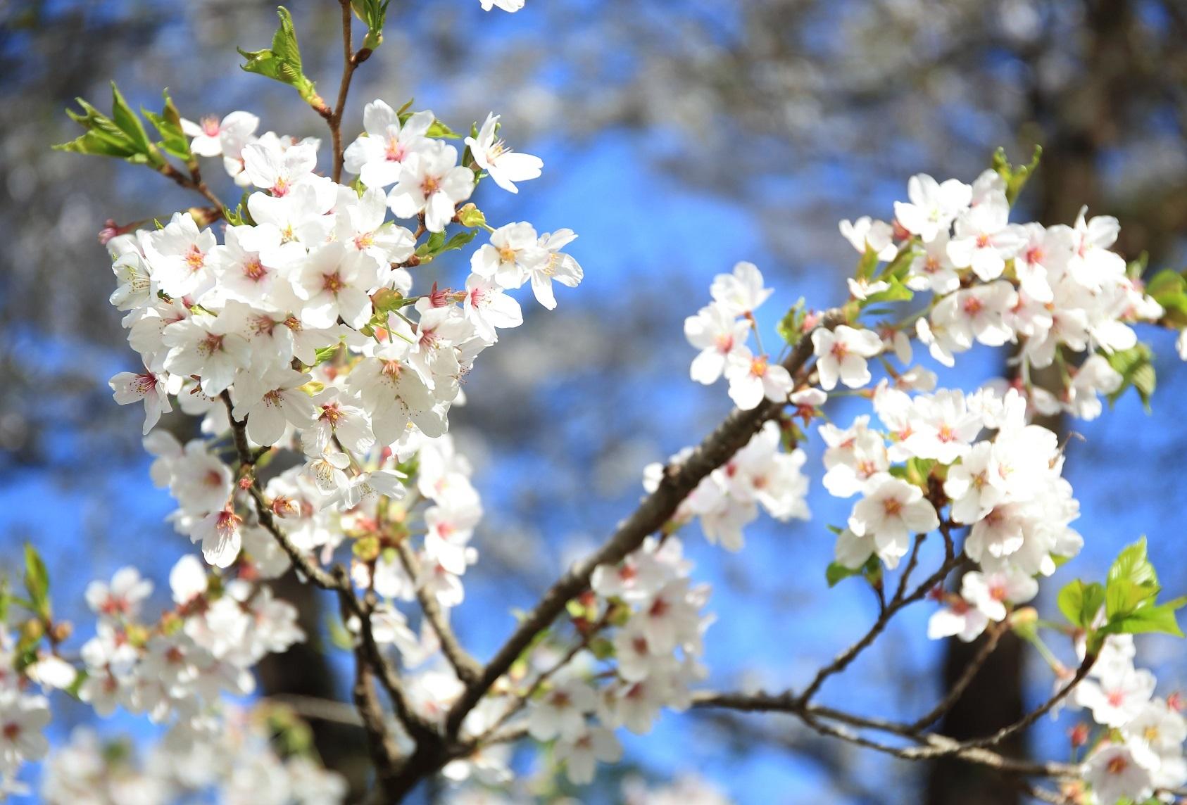 ブログ 2018 4 08 千本松の桜 2.jpg