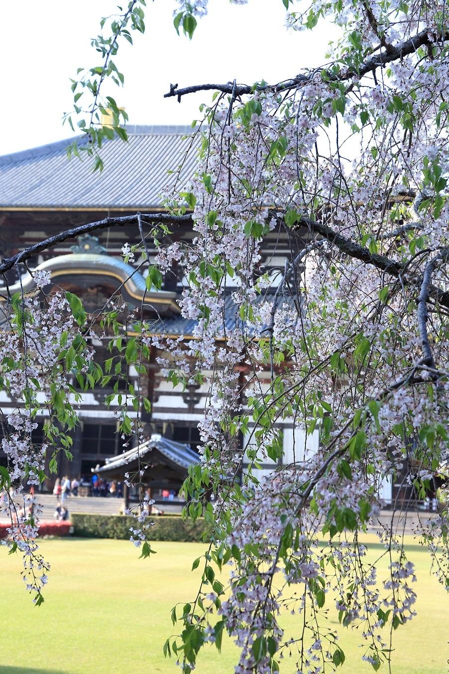 ブログ 桜と大仏殿.jpg