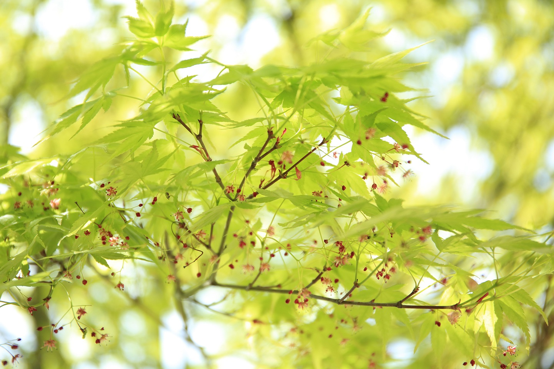 ブログ 法隆寺のモミジの若葉と花.jpg