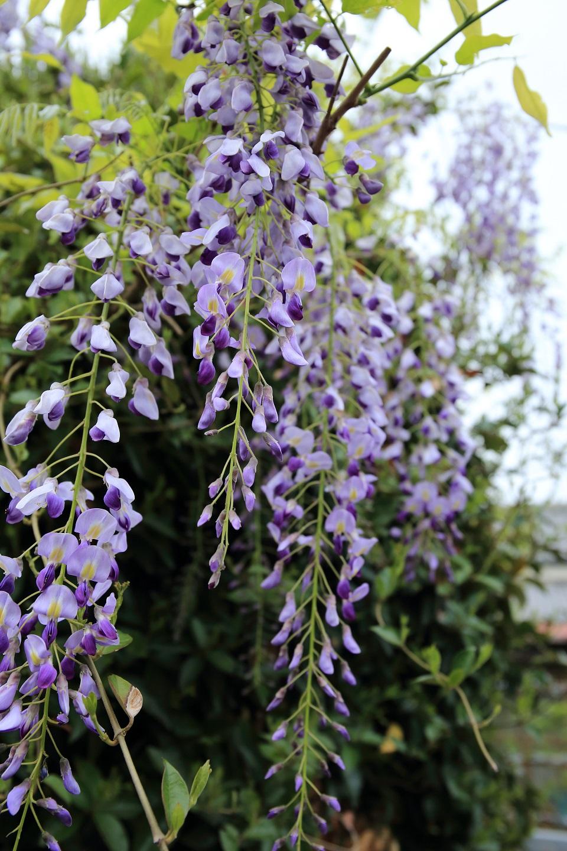 ブログ 唐招提寺への道にあった藤の花.jpg