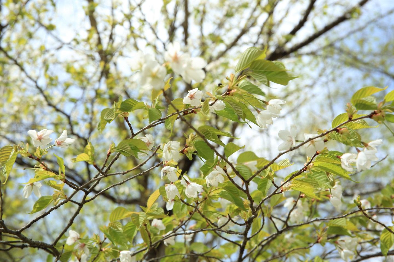 ブログ 山桜.jpg