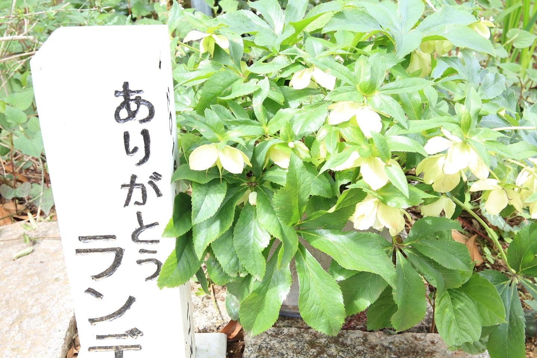ブログ 愛犬の墓とクリスマスローズ.jpg