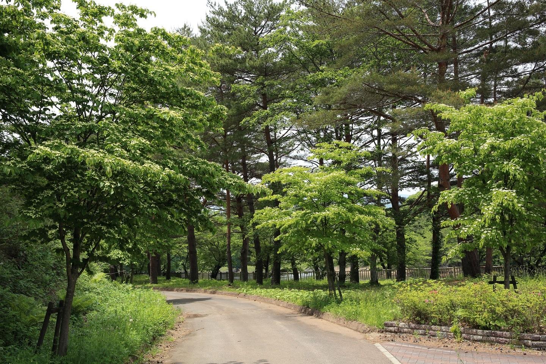ブログ 山法師が街路樹の進入路.jpg