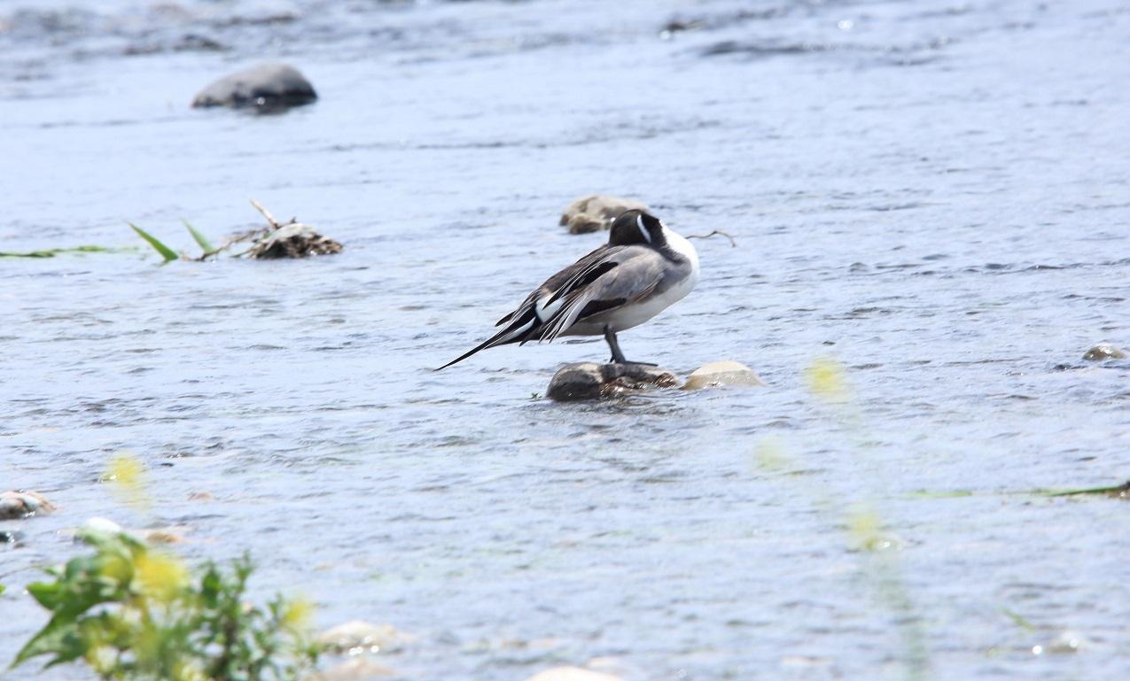 ブログ 川の下見の鴨さん.jpg