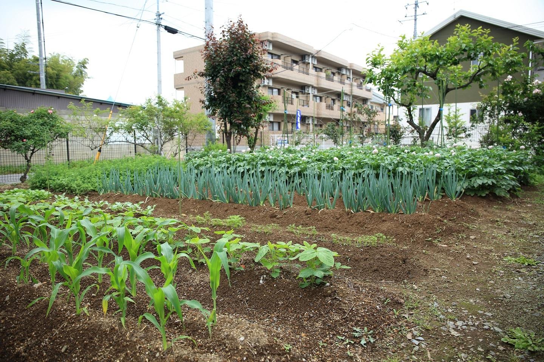 ブログ 2018 5 30 菜園の現況 1.jpg