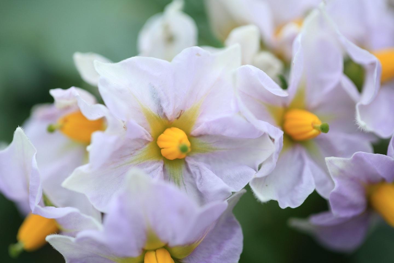 ブログ ジャガイモの花.jpg