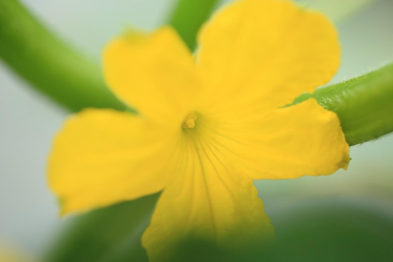 ブログ キュウリの花.jpg