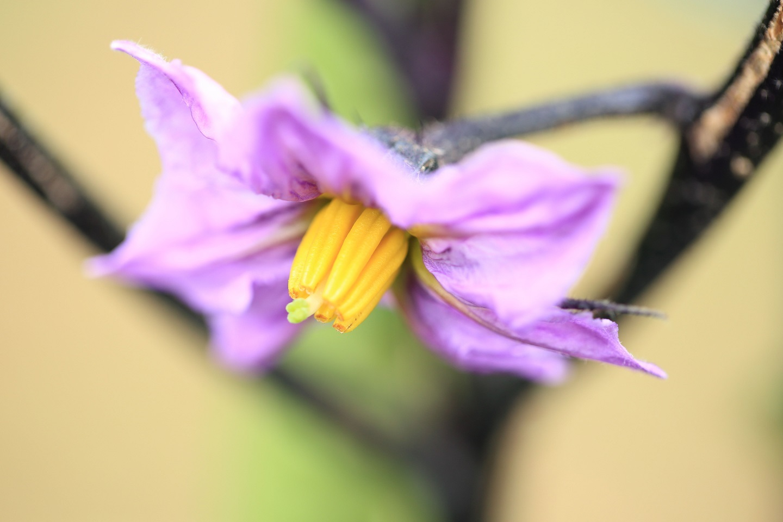 ブログ 茄子の花.jpg