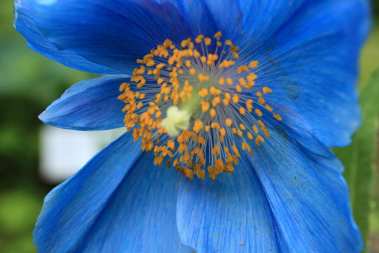 ブログ 青いケシの花.jpg
