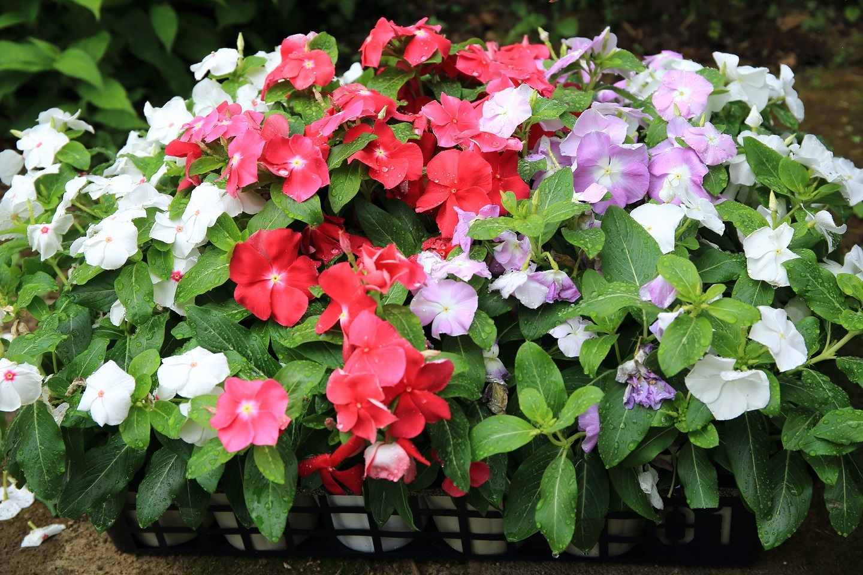 ブログ 買ってきた花の苗.jpg