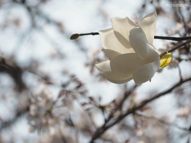 白木蓮とさくら180325