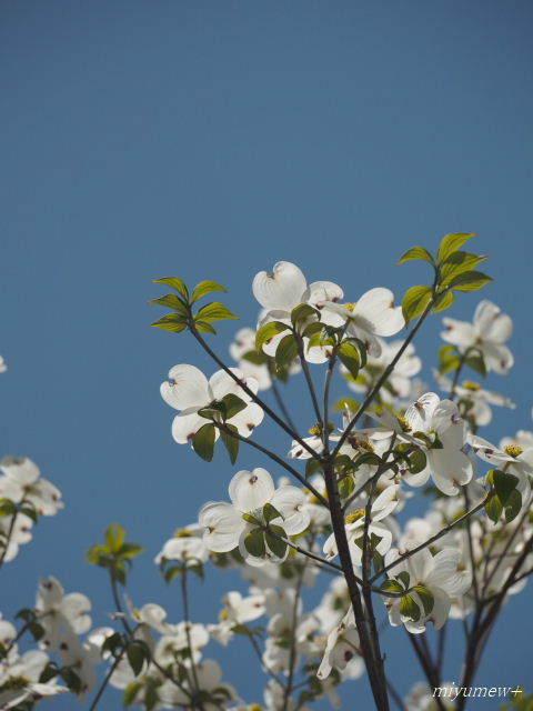 花水木しろ180419