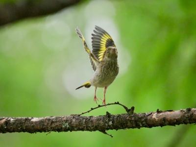 カワラヒワ幼鳥さん2018517