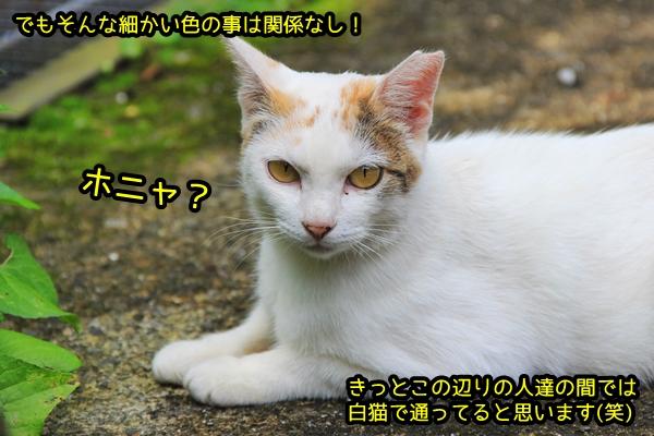 三毛な白猫