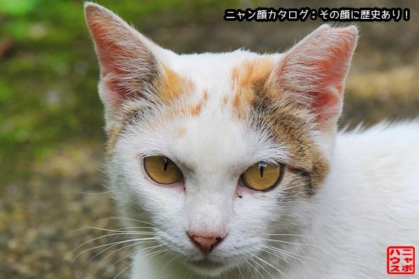 ニャン顔NO164 三毛な白猫さん