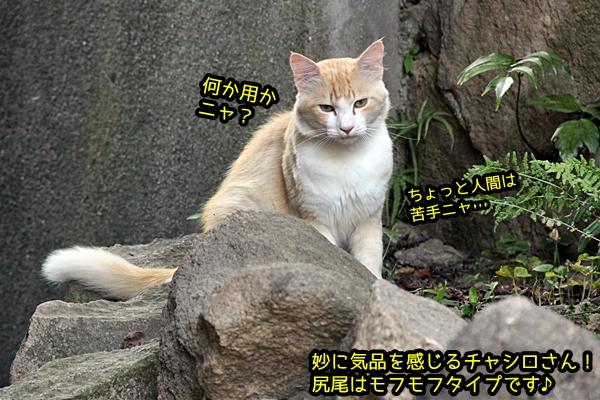 チャシロ猫
