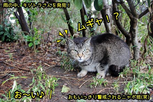 まん丸 キジトラ猫