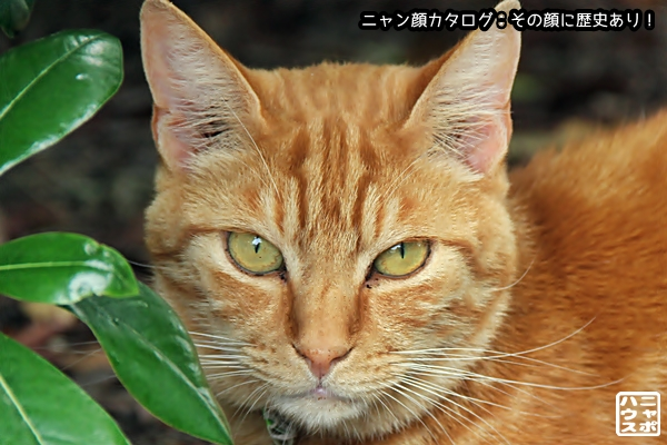ニャン顔NO154 アメショ猫さん♪