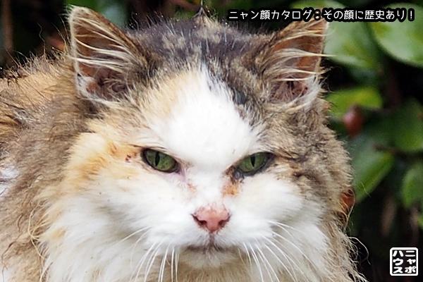 ニャン顔NO159 ロン毛な三毛猫さん