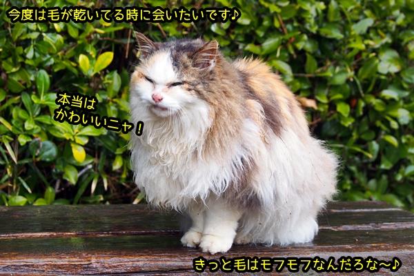 ロン毛 三毛猫さん