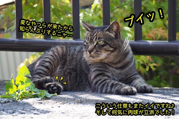 ドラ猫 キジトラ