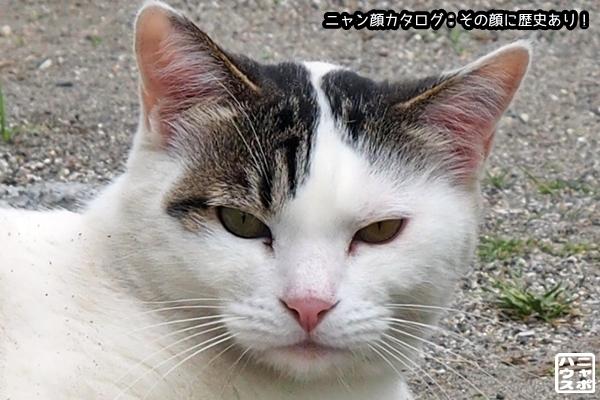 ニャン顔NO152 白サバ猫さん♪