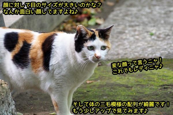 ニャン顔NO155 なぜか面白い顔に見える三毛猫さん