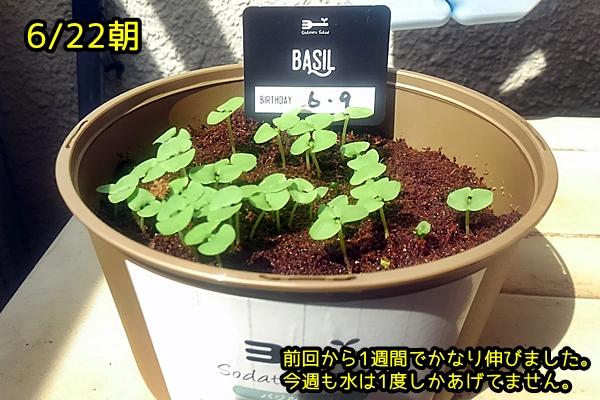 ファミマガーデン バジル栽培