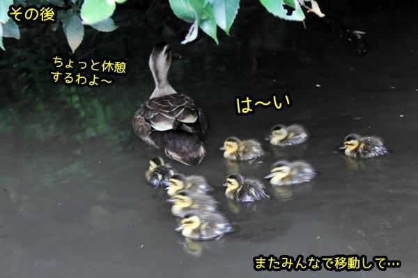 鴨の親子 マガモ カルガモ