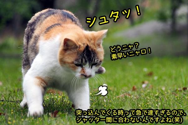 ウズウズ 三毛猫
