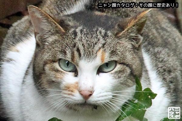 ニャン顔NO144 三毛猫さん♪
