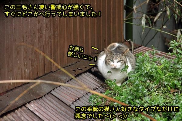 サバトラ風三毛猫
