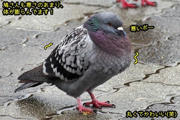 鳩 膨らむ